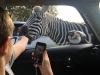 OF zebra